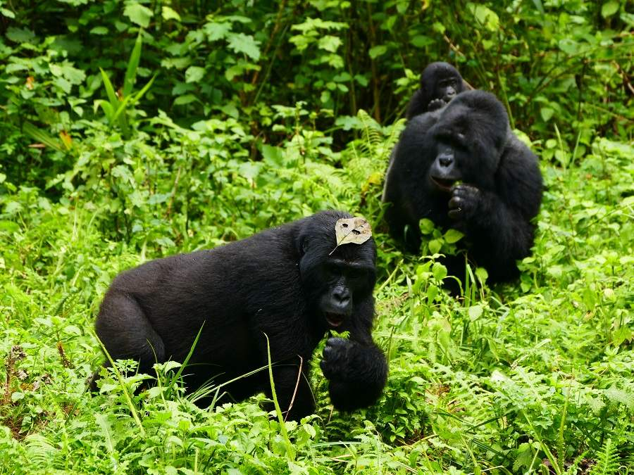 Schwarzrücken im Bwindi Impenetrable Nationalpark