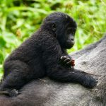 Gorilla Tracking im Bwindi Impenetrable Forest in Uganda