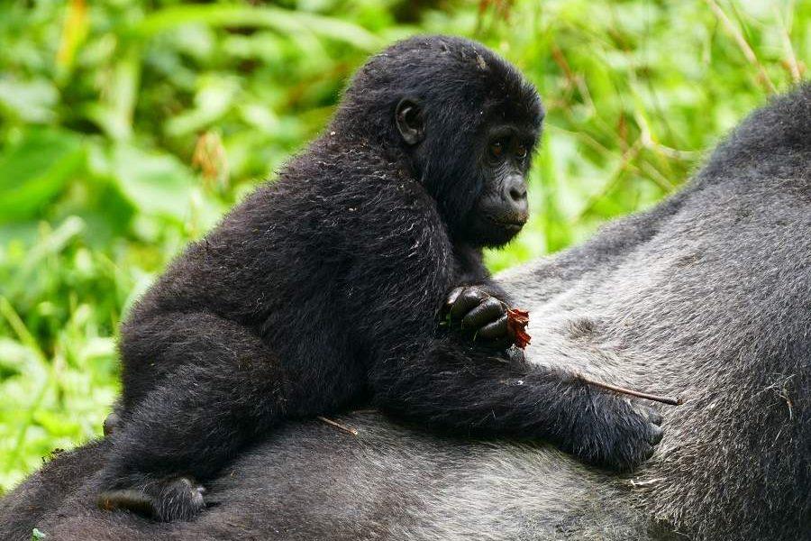 Gorilla Tracking im Bwindi Impenetrable Forest in Uganda
