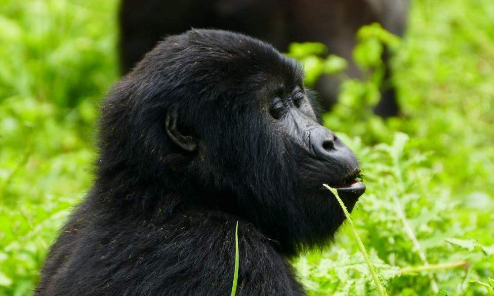 Kurzsafari Uganda Gorillas und Löwen