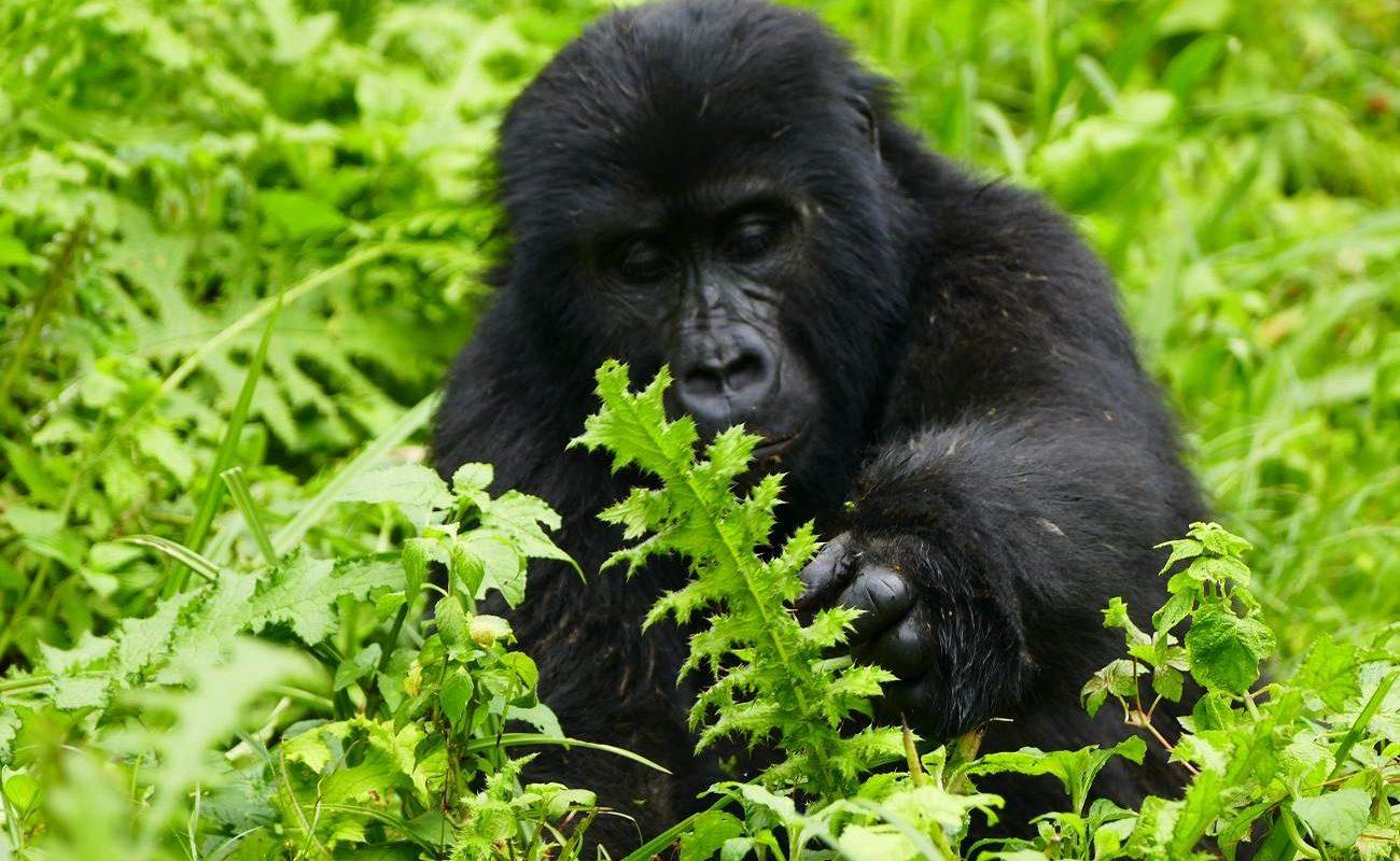 Gorilla im Bwindi
