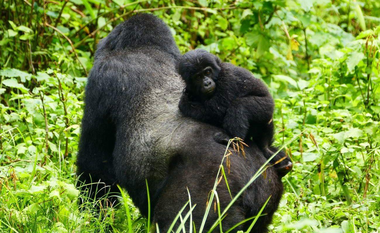 Silberrücken und junger Gorilla im Bwindi