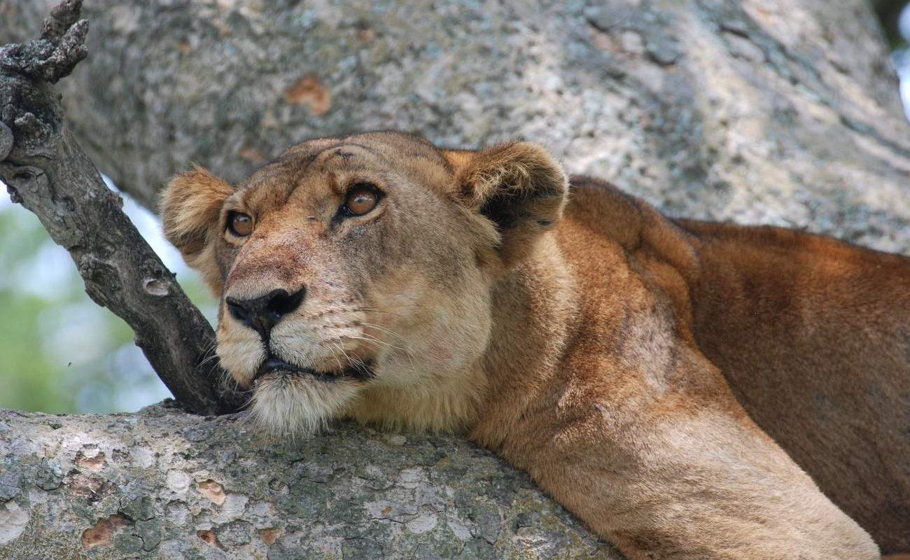 Löwen im Queen Elizabeth Nationalpark