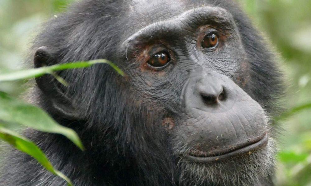 Kibale Nationalpark Uganda - Heimat der Schimpansen