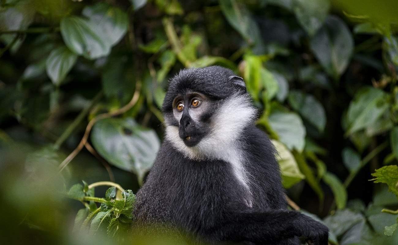 Colobus Monkey im Bwindi Impenetrable Forest