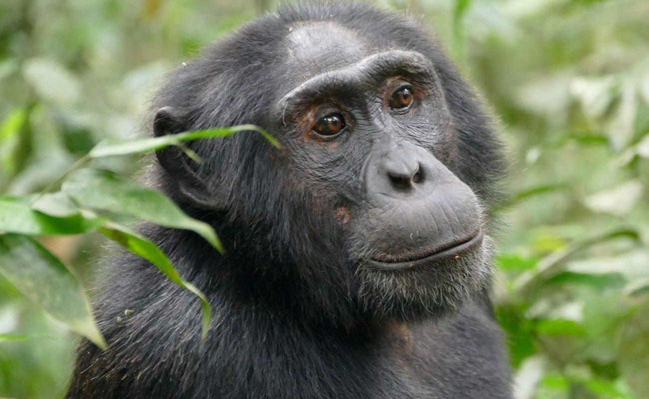 Schimpanse im Kibale