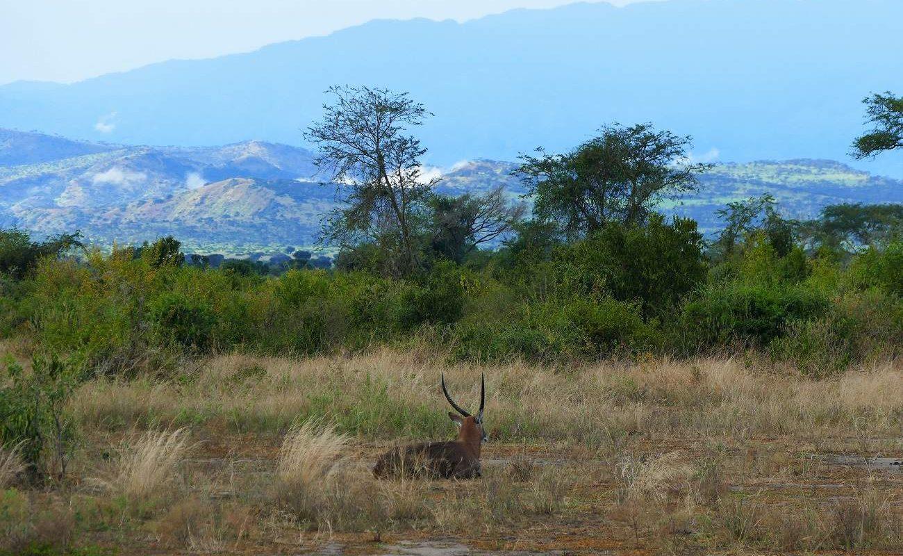Kob im Queen Elizabeth Nationalpark