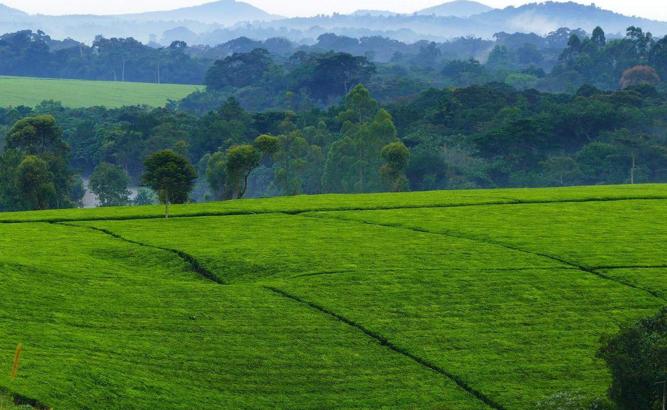 Teeplantagen in Uganda