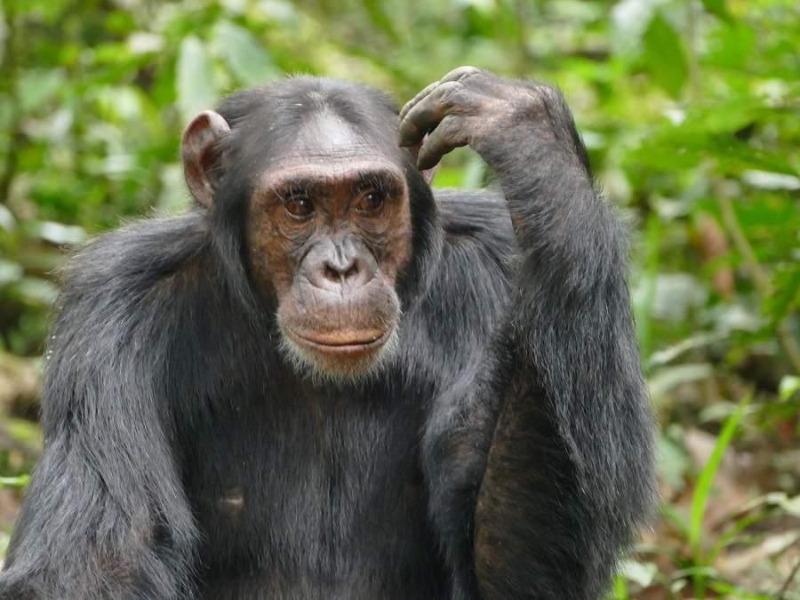 Schimpanse mit Denkerpose