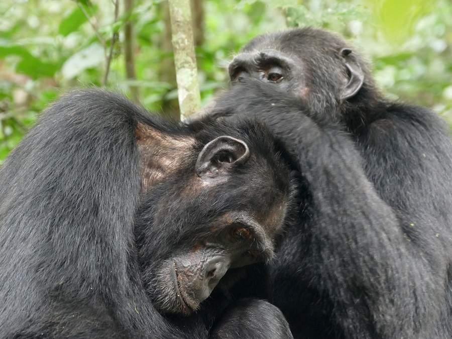 Schimpansen - Körperpflege