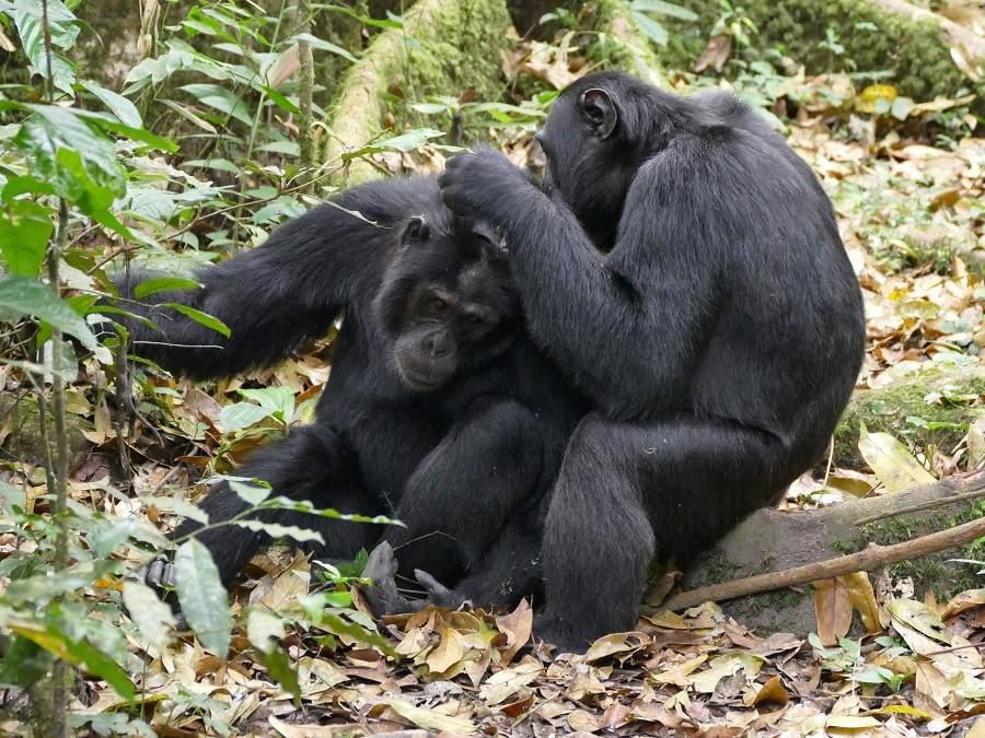Schimpansen - gegenseitige Fellpflege