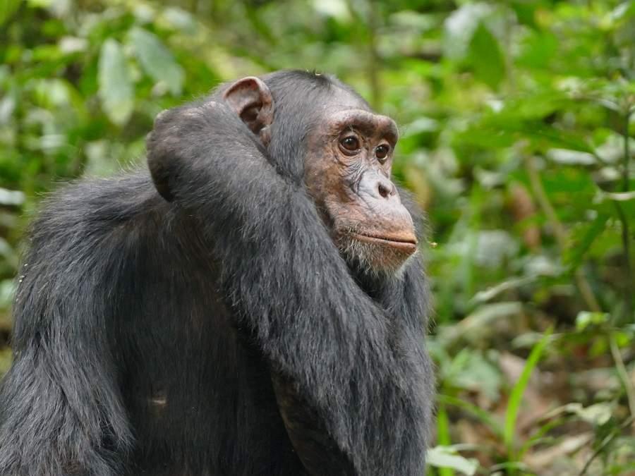 Schimpanse kratzt sich das Ohr