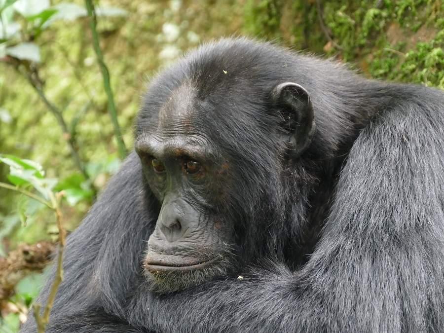 Bockiger Schimpanse - keine Lust auf das Tracking