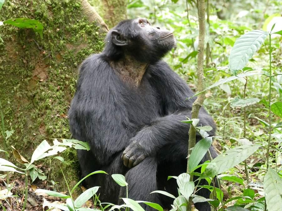 Pfeiffender Schimpanse
