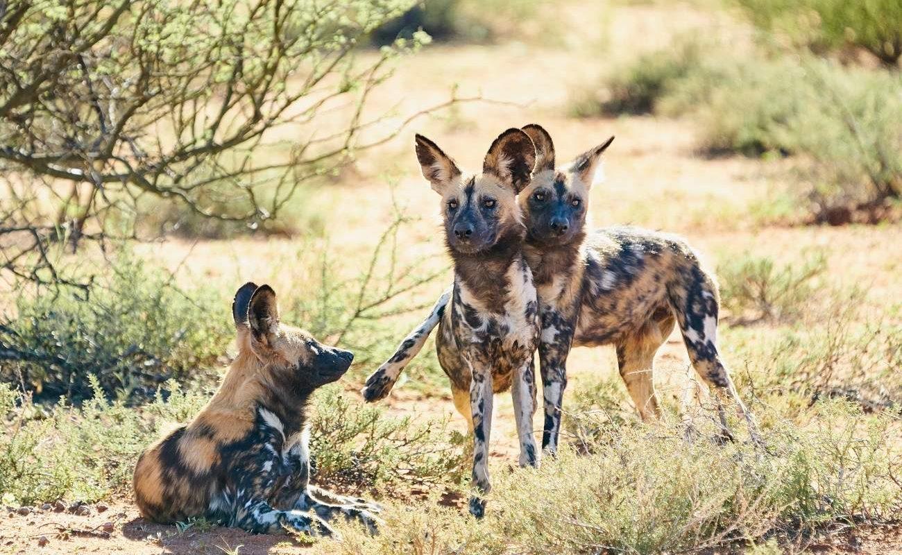 Wilddogs in Tswalu