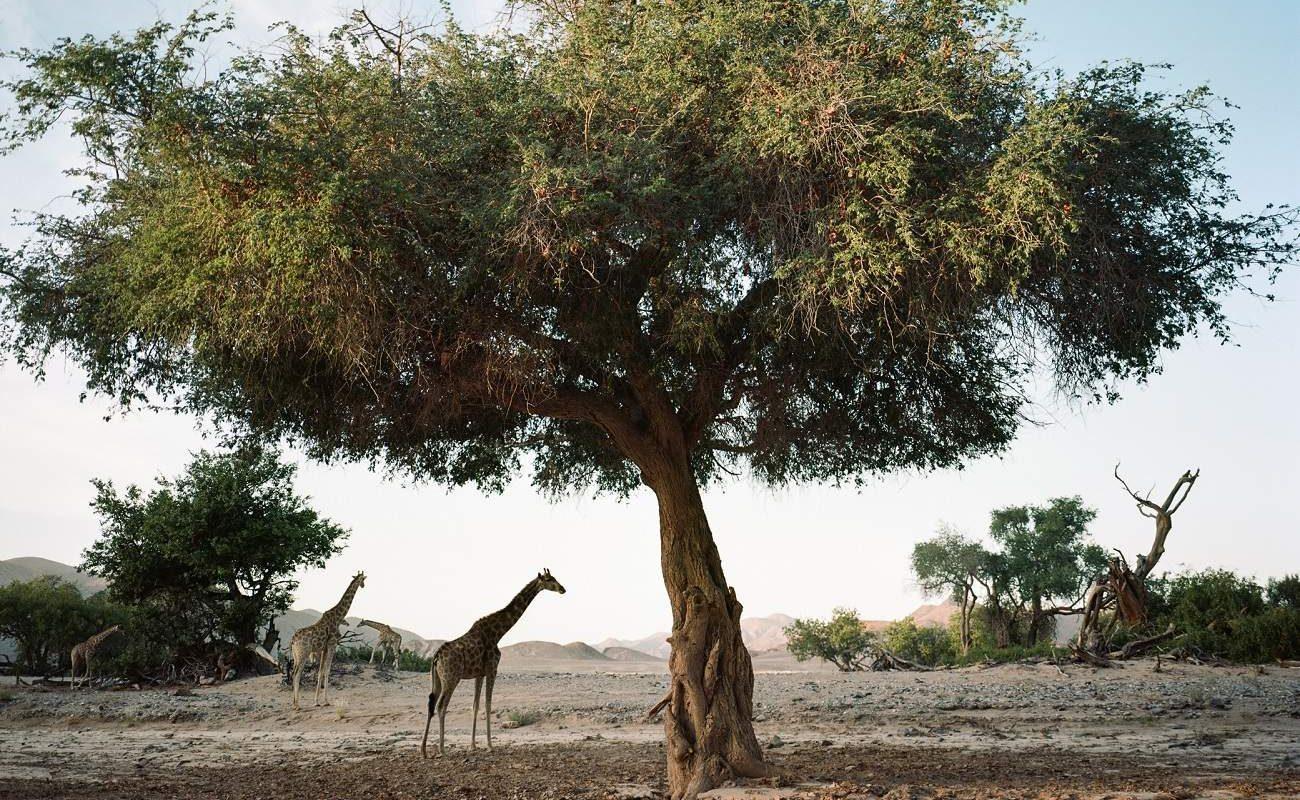 Giraffen bei Hoanib Valley