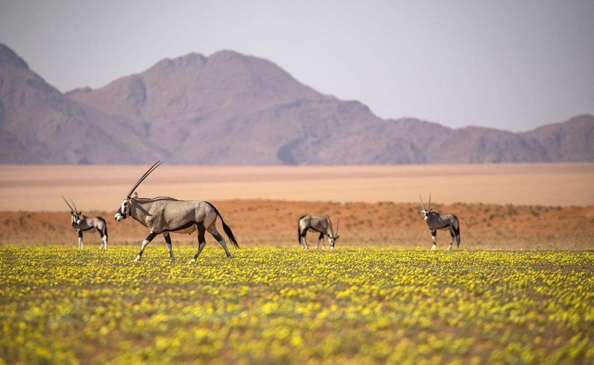 Oryx im NamibRand Reserve