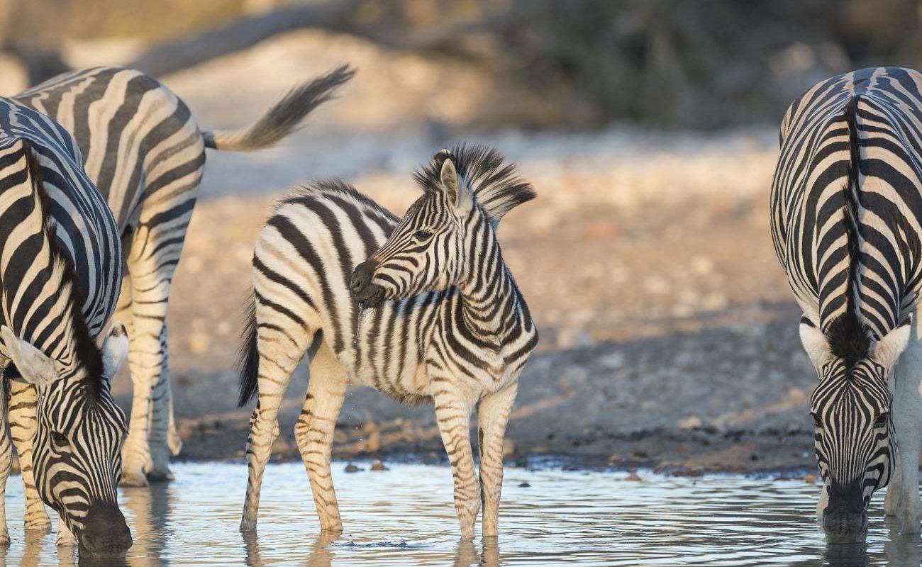 Zebras im Etoscha Nationalpark