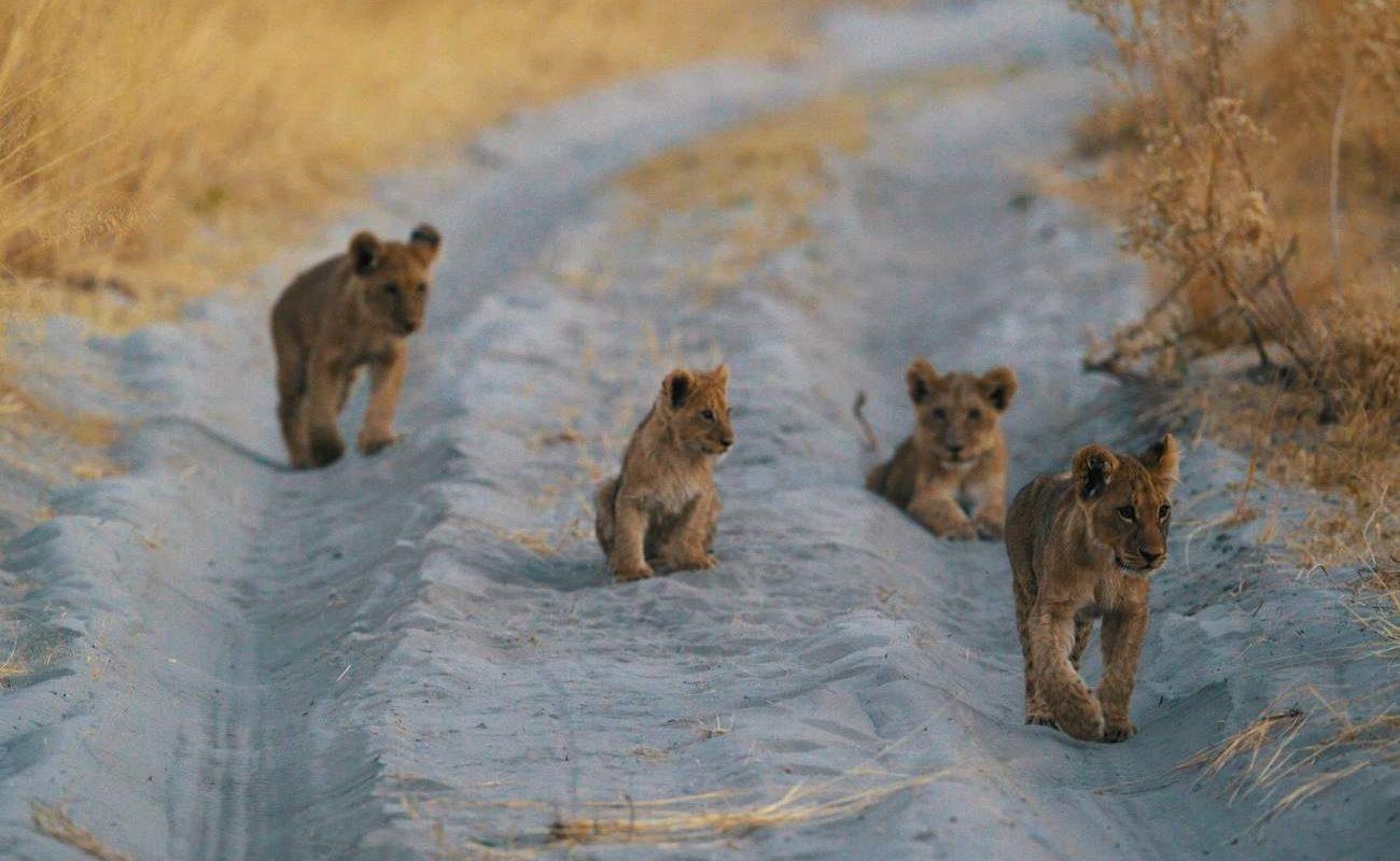 Löwen auf einer Pirschfahrt auf Chief's Island